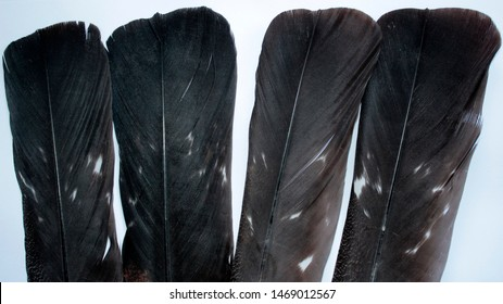 Feathers of capercaillie. To create decor and dream catchers.