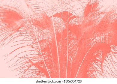 feathers of peacock in a living coral tone