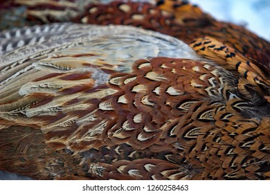 Feathers of the pheasant