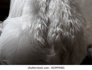 Feathers White Close up