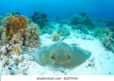 Feathertail Stingray lying in coral reef