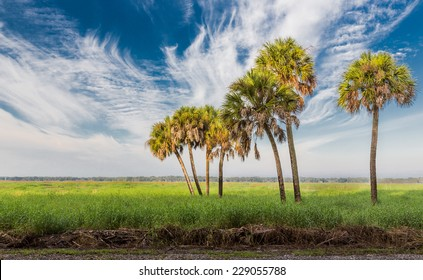 Feathery clouds surround tall palm trees in Florida