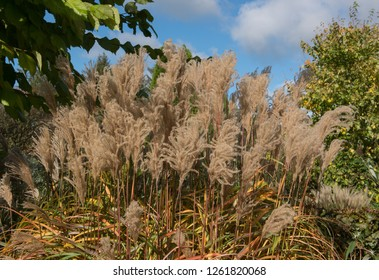 Feathery Foliage of Eulalia an Ornamental Grass (Miscanthus sinensis 'Malepartus') in a Herbaceous Border in a Country Cottage Garden in Rural Devon, England, UK