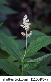 The feathery small white fragrant flowers of a false solomon's seal rise above the dark woodland flower.