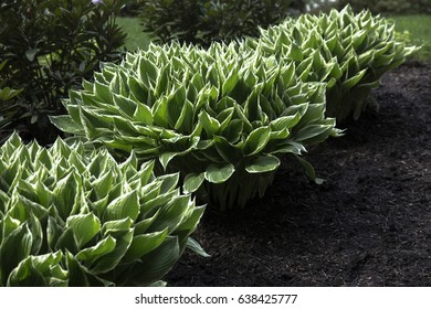 Featured View Green White Patriot Hosta Plants, Soil Ground, Out of Focus Background (HDR Image)