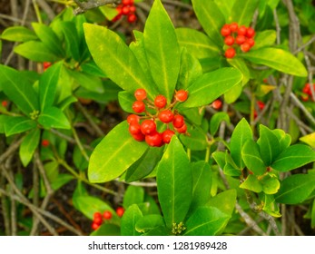 February daphne (Daphne mezereum) is a species of Daphne in the flowering plant family Thymelaeaceae.