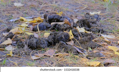 feces shit animal in the autumn forest on leaves and pine needles