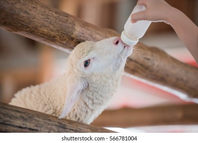 Feed baby sheep with milk fed from bottle.