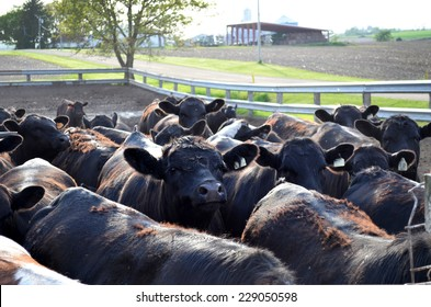 Feed lot full of black cows