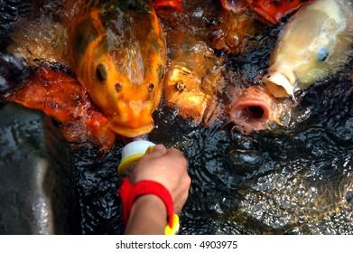 feed goldfish