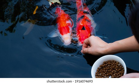 Feed the japan koi or fancy crap with your bare hands. Fish tamed to the farmer. An outdoor koi fancy fish pond for beauty. Popular pets for Asian people relaxation and feng shui meaning good luck.