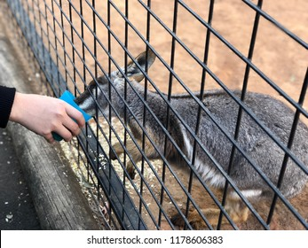 Feed the kangaroo in cage at zoo. Animal quarantine and no freedom concept.