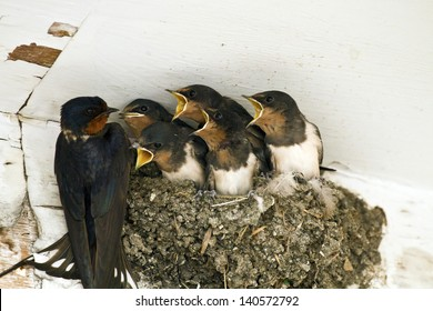 Feed me! Demanding swallow chicks begging for food