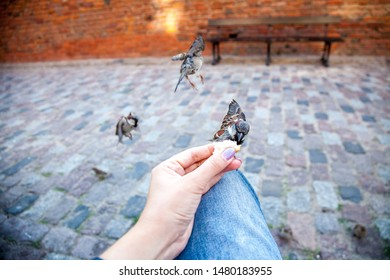 Feed the sparrows from the hands. City birds. Sparrows and human hand.