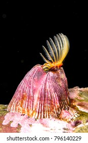 A feeding acorn barnacle extends its feathered cirri, catching plankton and particles as a source of food.
