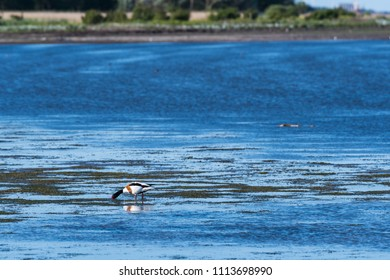 Feeding beautiful Shelduck by the coast of the swedish island Oland in the Baltic Sea
