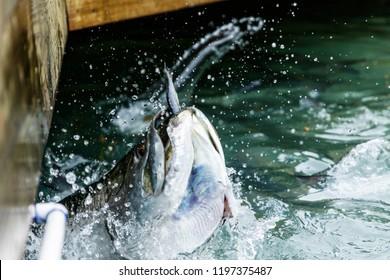 Feeding Big Tarpon