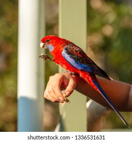 Feeding birds by hand with a Crimson Rosella in afternoon sunlight