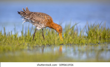 Feeding Black-tailed Godwit (Limosa limosa) foraging in shallow water of a wetland. Marshlands are used as layovers during migration.