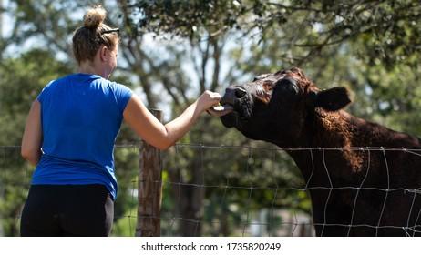 Feeding the bull with grass on the farm
