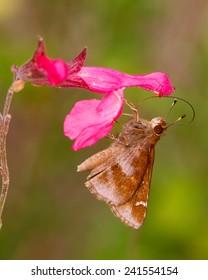 Feeding Clouded Skipper butterfly