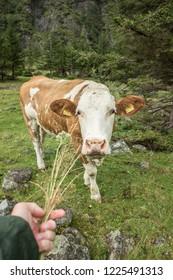Feeding a cow in Austrian Alps