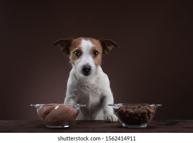 feeding dogs. Natural raw food. Pet food. Jack Russell Terrier is eating