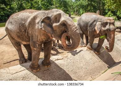 feeding elephant activity in open safari. locate in thailand