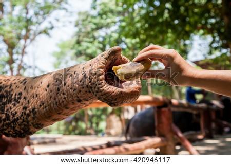 Feeding Elephant Banana Zoo Stock Photo Edit Now 420946117
