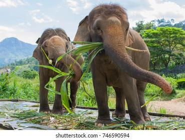 feeding elephants on a farm not far from Dalat. Vietnam