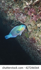 A feeding Ember Parrotfish (Scarus rubroviolaceus) at the tropical coral reef marine reserve at the Daymaniyet Islands off the coast of Oman in Arabia