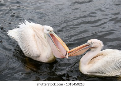 Feeding fish to pelicans