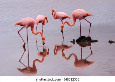 Feeding Flamingos  taken on Floreana island in the Galapagos