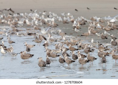Feeding frenzy of mainlly European Herring Gulls (Larus argentatus) on the beach of Neeltje Jans in Zeeland, Netherlands.