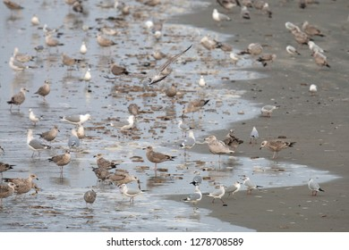 Feeding frenzy of, besides, Glaucous, Common and Common Black-headed Gull(s), mainlly European Herring Gulls (Larus argentatus) on the beach of Neeltje Jans in Zeeland, Netherlands.
