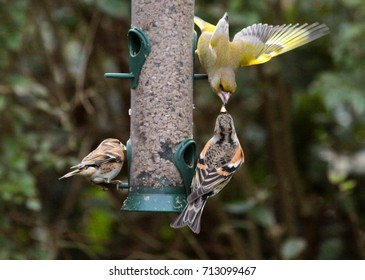 Feeding garden birds in winter: A Brambling and a European green finch (Chloris chloris) are quarreling on a silo bird feeder filled with sunflower seeds; another Brambling watches the scene