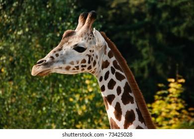Feeding a giraffe at the zoo. Sad, young giraffe.
