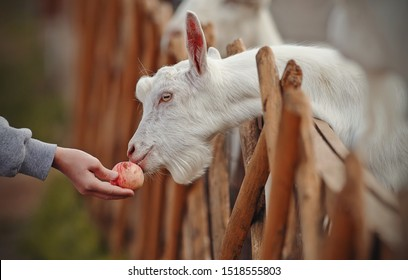Feeding goats apple. White goats behind the fence in a cattle yard.