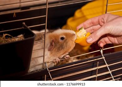 Feeding a guinea pig