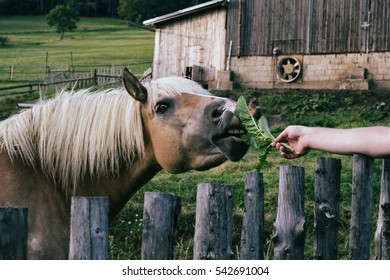 Feeding the horse. Czech Republic