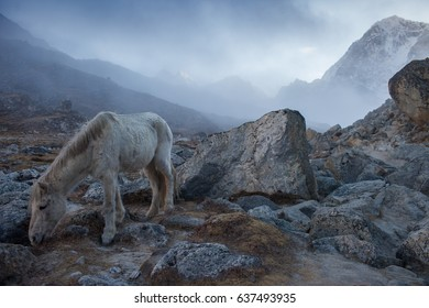 Feeding horse in the Himalayas,Nepal,focus on the horse