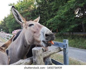 Feeding hungry donkeys with carrots