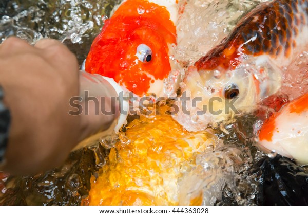 Feeding Koi Fish Baby Milk Bottle Stock Photo (Edit Now