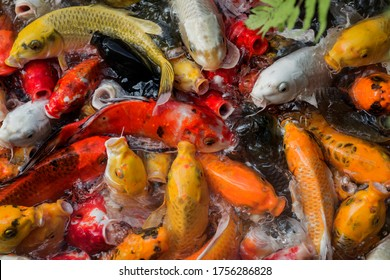 Feeding koi fish or carps in pond.Feeding colorful fish with food in a bottle.