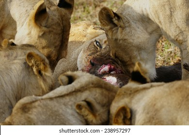 Feeding Lion Pride