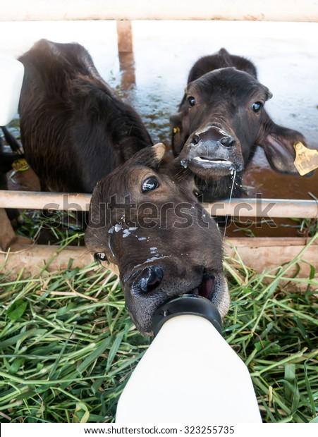 Feeding Milk Murrah Buffalo Stock Photo (Edit Now) 323255735