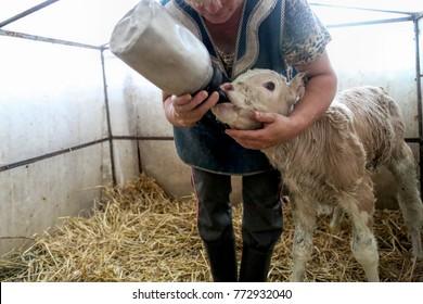 Newborn Calf Images, Stock Photos & Vectors | Shutterstock