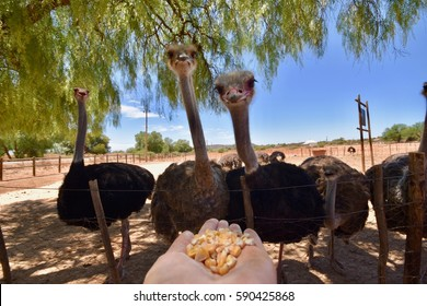 Feeding ostriches in South Africa