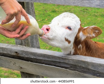 Feeding a person with a bottle of milk to a calf in spring, Patagonia, Chile