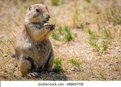 Feeding Prairie Dog